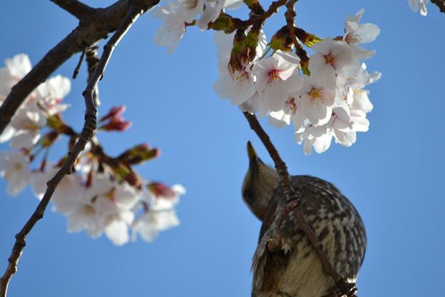 桜が大好き