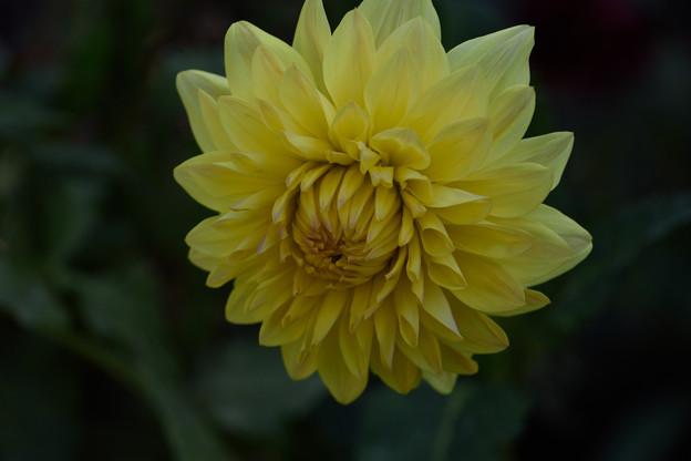 黄色いダリア3