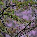 Photos: 桜バックの萌えいずる楓