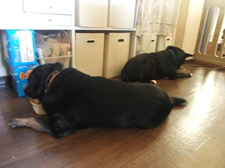 この子たち(大輔&銀太)、座って食事するんです
