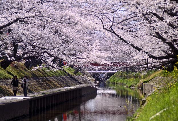 Photos: 春来桜楽