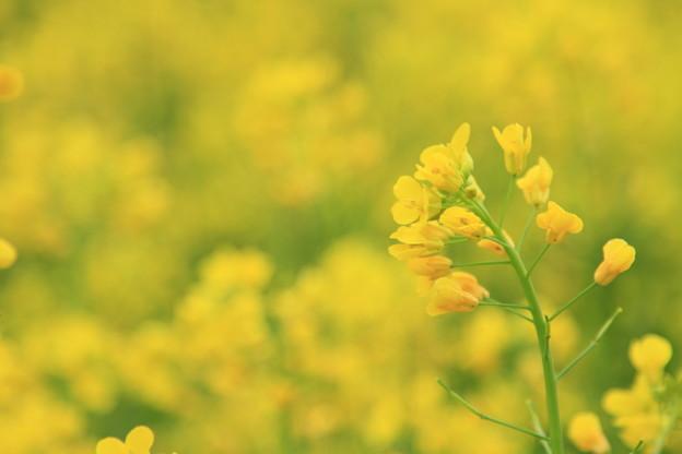 幸せの黄色い...