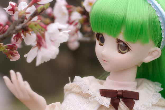 しだれ桜-7