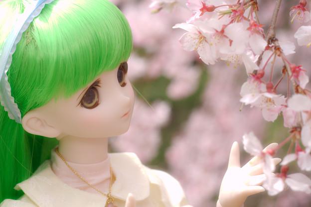 しだれ桜-12