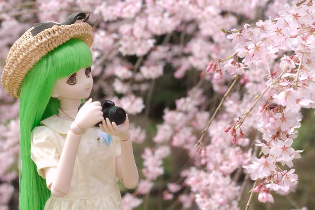 しだれ桜-13