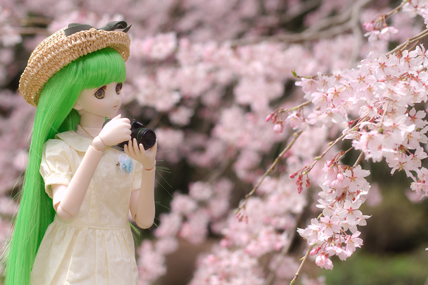 しだれ桜-14