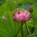 蓮の花と蕾!140721
