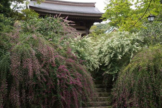 紅白の萩咲く石段!201409
