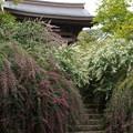 Photos: 紅白の萩咲く石段!201409
