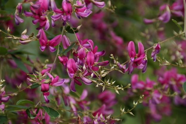 萩の花、海蔵寺!201409