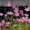 写真: 秋桜咲く、東慶寺!20140915