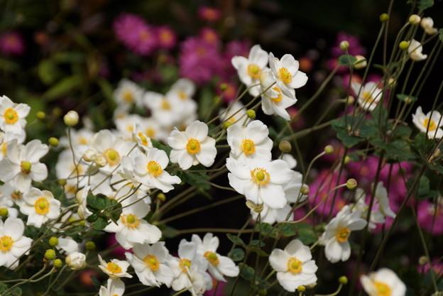 紅白の秋明菊の花の群生、北鎌倉14!