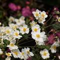 Photos: 紅白の秋明菊の花の群生、北鎌倉14!