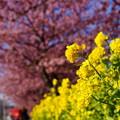 写真: 河津桜と菜の花20160221f