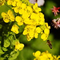 写真: 菜の花とハチ20160221i
