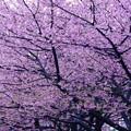 河津桜満開20160221