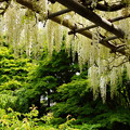 写真: 枝垂れる白藤20160502a