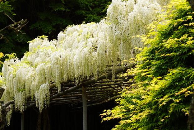 写真: 枝垂れる白藤20160502c