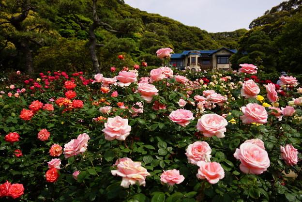 春バラ鎌倉文学館20160514a