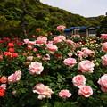 写真: 春バラ鎌倉文学館20160514a