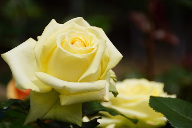 クリーム色のバラ20160514e