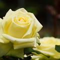 写真: クリーム色のバラ20160514e