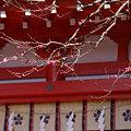 写真: 紅梅咲く、鎌倉/荏柄天神社!(100110)