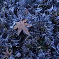 Photos: 霜柱と落ち葉!(100206)