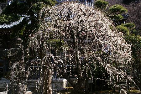 枝垂れ梅が見頃に!(100206)