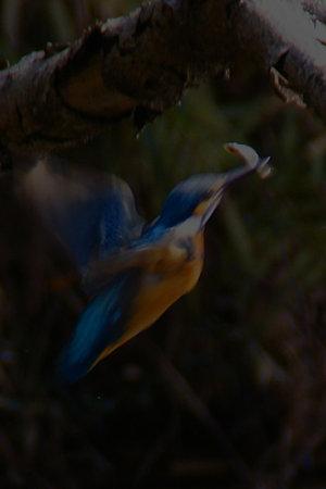 翡翠の飛翔!(100214)
