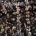 Photos: 枝垂れ梅のカーテン、鎌倉
