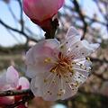 Photos: ピンクに染まる梅100314-260