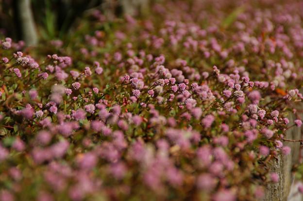 Photos: ヒメツルソバの花!