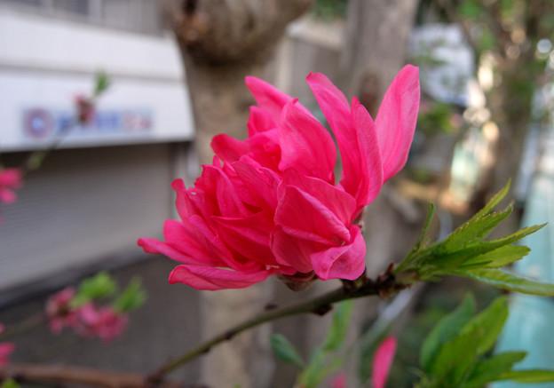 咲きかけ 菊桃