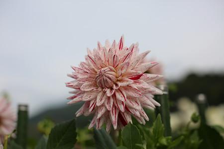 黒川ダリヤ園 - 033