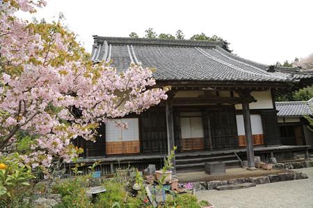 横輪桜 (4)