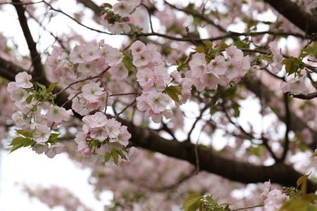 横輪桜 (14)