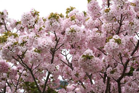 横輪桜 (16)
