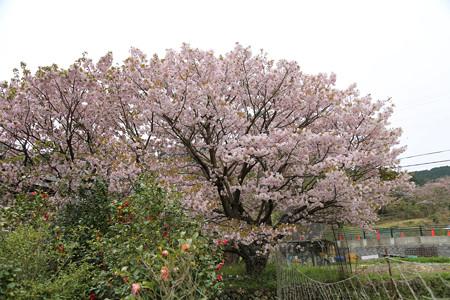 横輪桜 (18)