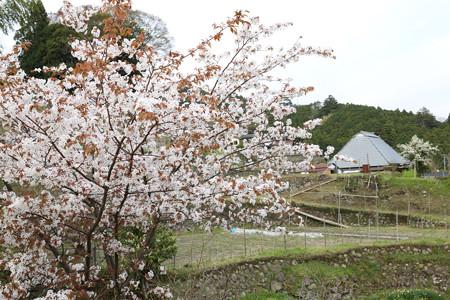 三多気の桜 (1)