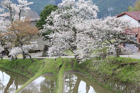三多気の桜 (7)