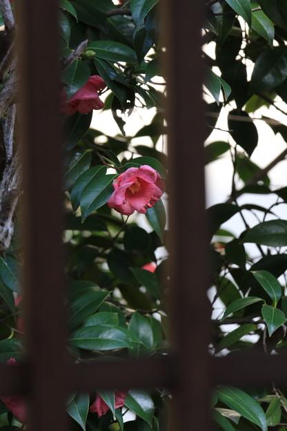 Photos: ピンク椿