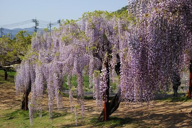 Photos: 藤園