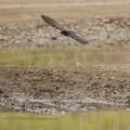 巣材の泥をくわえ飛び立つ