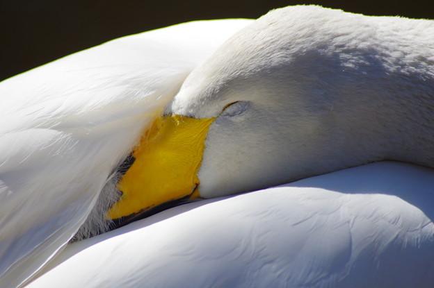 白鳥の眠り