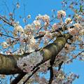 桜~2016-4