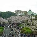 武道館入口の桜