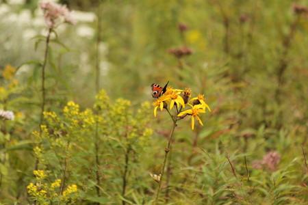 20140831_18_黄色の花with蝶々