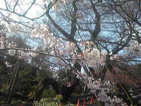 2016-3-29慈光寺の桜