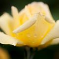 薔薇-京都植物園-9052